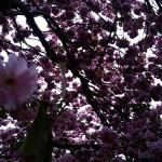 Mon cerisier du Japon